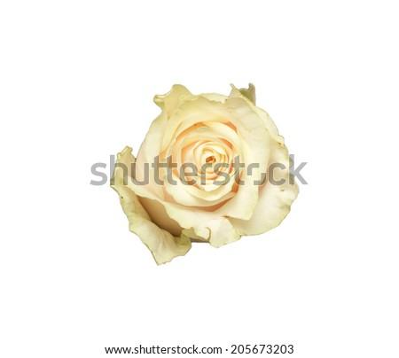beautiful rose bud cream color closeup - stock photo