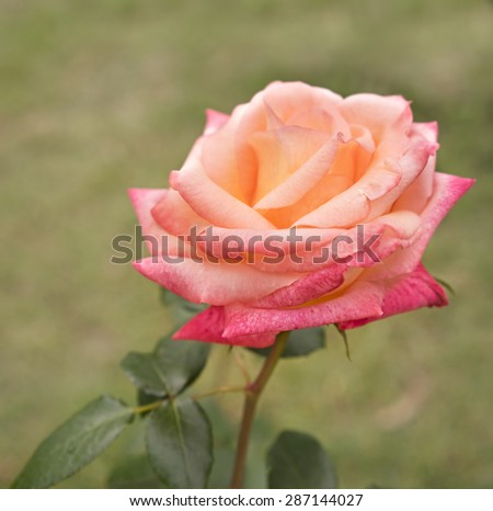 Beautiful rose flower blossom growing in garden close up - stock photo