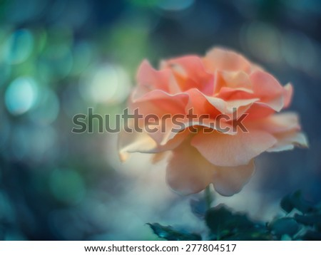 Beautiful rose flower growing in garden. Shallow DOF. - stock photo