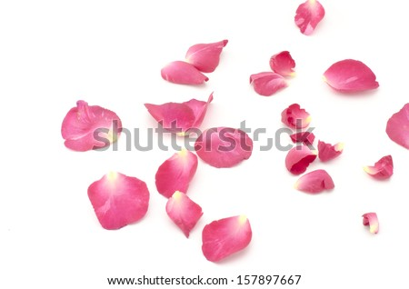 beautiful rose flower isolated on white background - stock photo