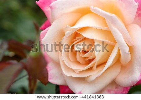 Beautiful rose flower with nature background, close up of rose, beautiful rose in garden - stock photo