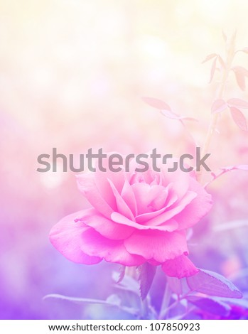 Beautiful rose in magic light - stock photo