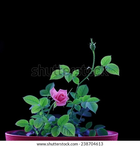 Beautiful rose on black blackground with ray light - stock photo