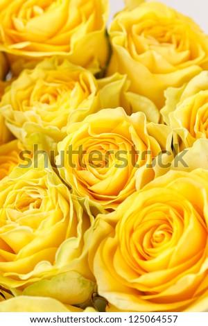 beautiful roses - stock photo