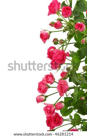 Beautiful Roses Border on white. - stock photo
