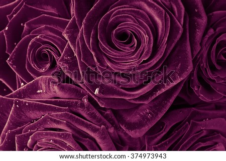 beautiful roses for background - stock photo