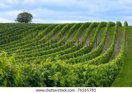 Beautiful rows of grapes before harvesting - stock photo