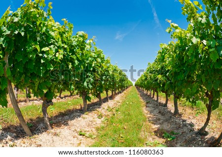 Beautiful rows of grapes before harvesting, France - stock photo