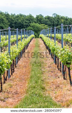 Beautiful rows of grapes in spring - stock photo