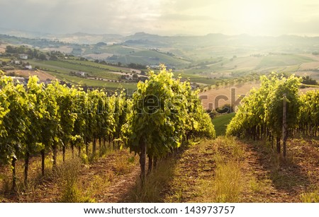 Beautiful rows of vineyard - stock photo