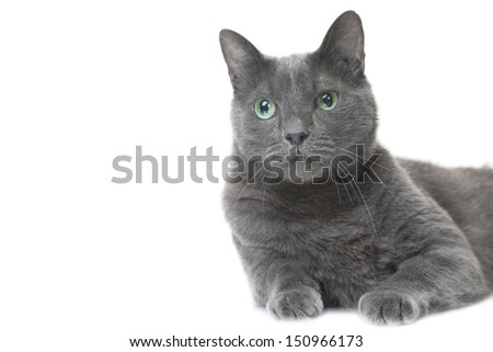 beautiful Russian blue cat lying on isolated white background - stock photo
