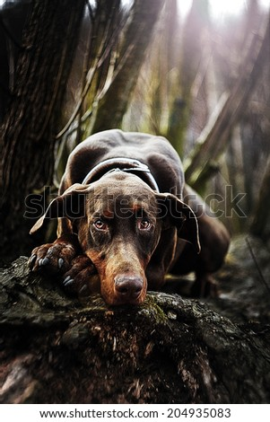 beautiful sad doberman pinscher dog is waiting - stock photo