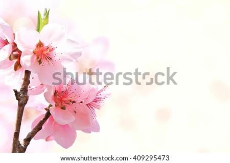 Beautiful Sakura flower on white background.Shallow DOF by wide aperture. - stock photo