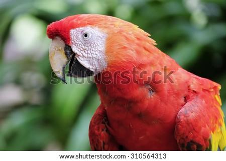 Beautiful scarlet macaw - stock photo