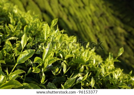 Beautiful scenery of Cameron Highland tea plantation valley during sunrise in its original ambient lighting. - stock photo