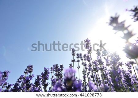 beautiful scented lavender flowers field under blue sky  - stock photo