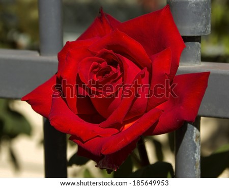 Beautiful  scented romantic  intense  red   hybrid tea  rose in bloom in early autumn  against a grey metal front fence adds charming color to an urban street scape. - stock photo