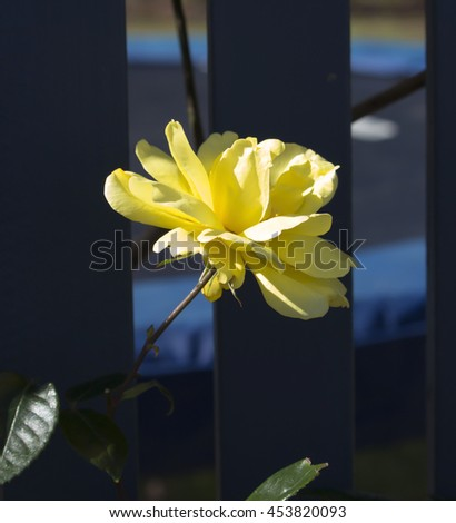 Beautiful  scented romantic  intense  yellow  florabunda  rose in bloom in early spring  is a gardener's delight with its clustering bunches of fragrant flowers. - stock photo