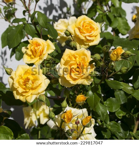 Beautiful  scented romantic  intense  yellow  hybrid tea  roses in bloom in late spring  are  a gardener's delight and a joy to behold. - stock photo