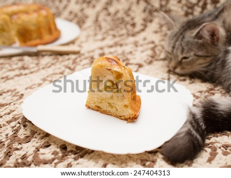 Beautiful Scottish cat with cupcakes - stock photo