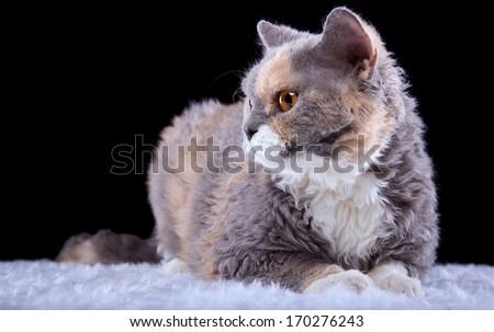 Beautiful Selkirk Rex cat - stock photo
