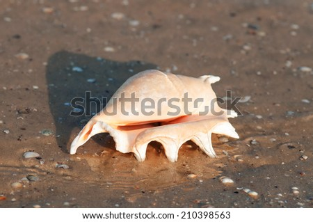 Beautiful shell on the beach in the sand in the summer - stock photo