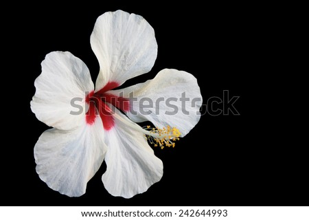 Beautiful shoe flower.isolate on black background ,close up shot of colorful tropical flora two color red and white in a single. sute for screen wallpaper  - stock photo