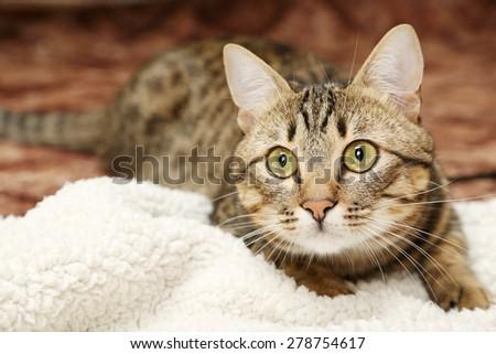Beautiful shorthair cat - stock photo