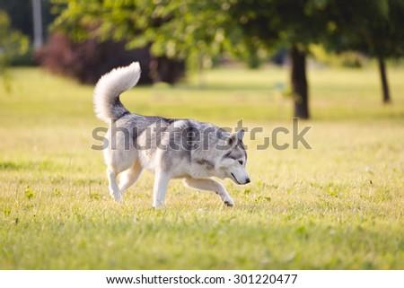 Beautiful siberian husky dog of wolf or german shepherd puppy running in summer park - stock photo