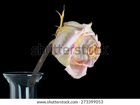 Beautiful Single Faded Rose in a Vase Isolated On Black - stock photo