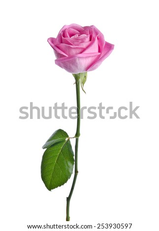 beautiful single pink rose on a white background. - stock photo