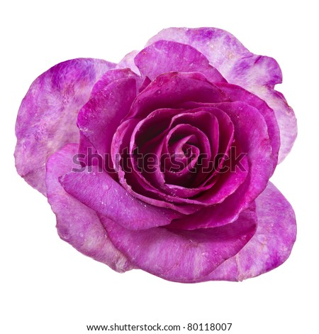 beautiful single rose head  isolated on a white background - stock photo