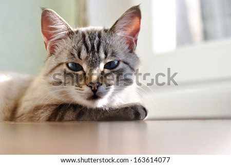 Beautiful sleepy cat with blue eyes lying resting on a wooden window sill in the sunlight enjoying a lazy day, low angle view - stock photo