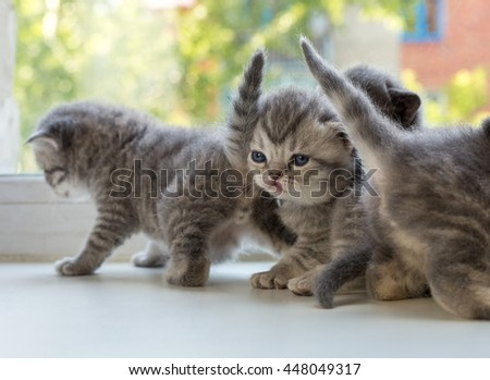 Beautiful small striped kittens on window sill. Scottish Fold breed. - stock photo