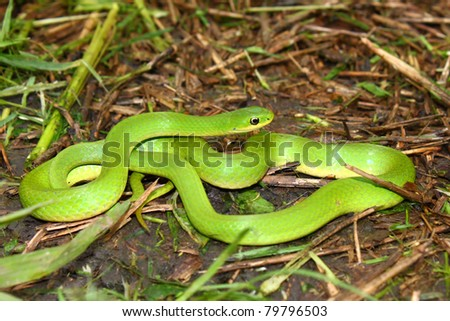 Beautiful Smooth Green Snake (Opheodrys vernalis) in a prairie of Illinois - stock photo