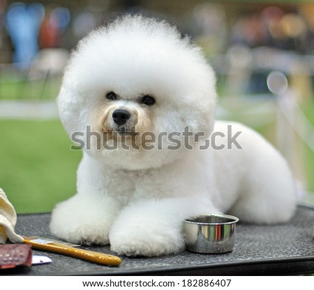 Beautiful snow-white fluffy dog ??Bichon Frise. ?urly lap dog, is a small breed of dog of the Bichon type. They are popular pets, similar in appearance to but larger than the Maltese. - stock photo
