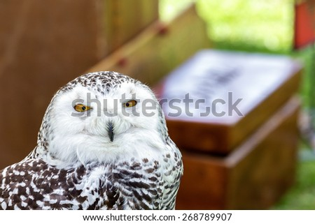 beautiful snowy owl gazing into your eyes - stock photo