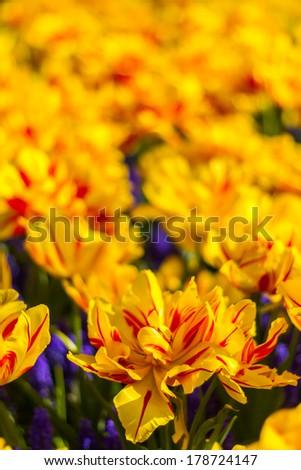 Beautiful soft focus vibrant yellow and red tulips and hyacinth at Keukenhof Netherlands - stock photo