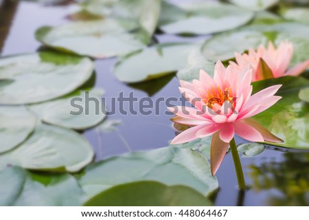 Beautiful soft sweet water lily pink petal yellow hub color lotus flower family species blooming in reflective pond with blur green leaves background : Exotic nature plant in asian oriental culture  - stock photo
