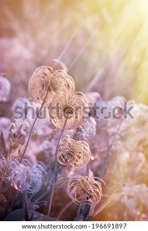 Beautiful softness flower - fluffy flower - stock photo
