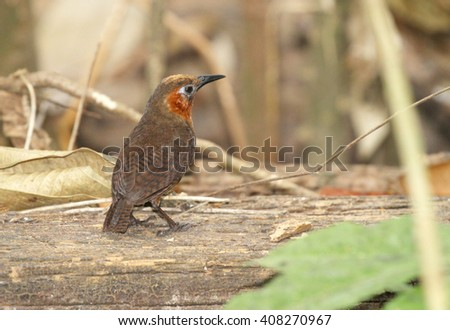 Beautiful Song Wren on top of an old log in the rain forest of Pipeline Road, Panama - stock photo