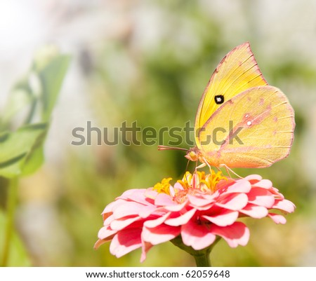 Beautiful Southern Dogface butterfly, Colias cesonia, feeding on a pink Zinnia flower - stock photo