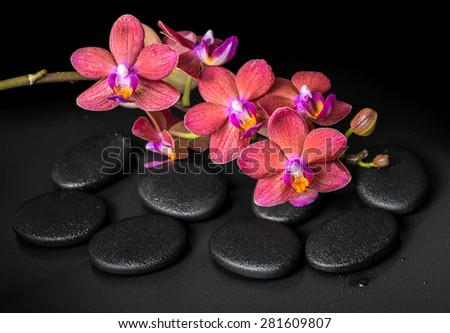 beautiful spa concept of blooming twig red orchid flower, phalaenopsis with water drops on zen basalt stones, closeup - stock photo