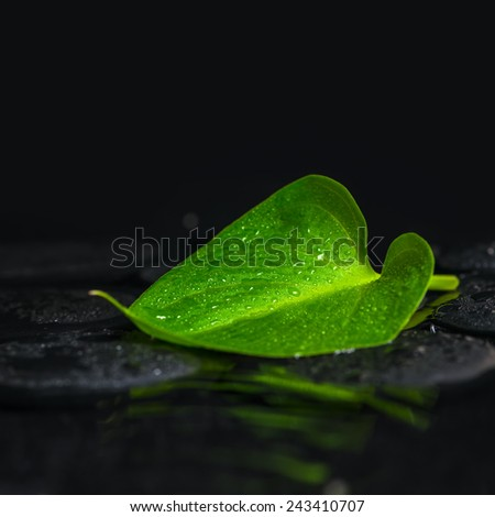 beautiful spa concept of green leaf Calla lily on zen basalt stones with dew in ripple reflection water, closeup - stock photo