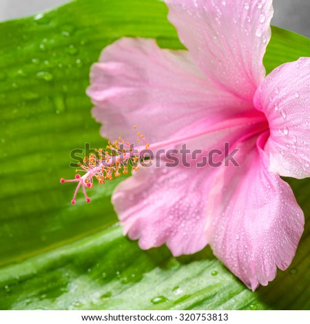 beautiful spa concept of pink hibiscus flower on big green leaf with drops, closeup - stock photo