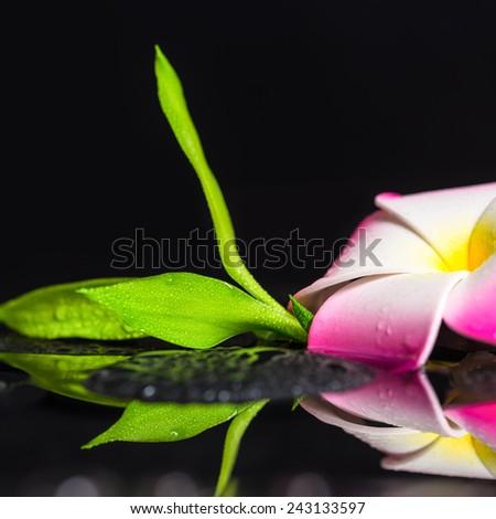 beautiful spa still life of green branch bamboo, plumeria flower with drops on zen basalt stones, closeup - stock photo
