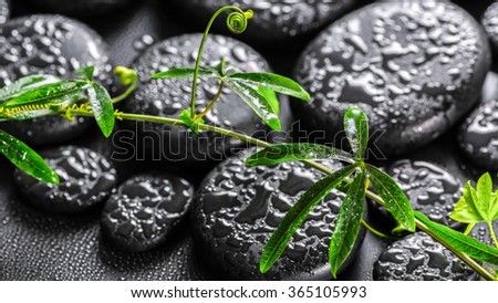 beautiful spa still life of green twig passionflower with tendril on zen basalt stones with drops, panorama  - stock photo