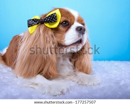 Beautiful spaniel dog with bow-tie. Animal portrait. Spaniel dog in stylish clothes. Blue background. Colorful decorations. Collection of funny animals - stock photo