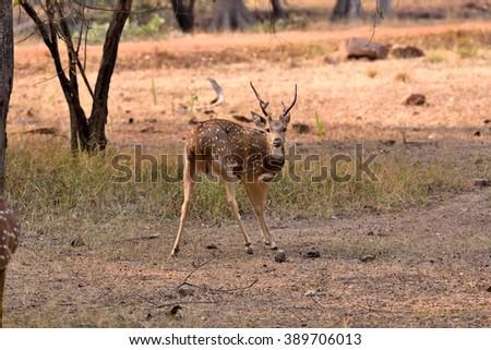 Beautiful spotted deer, tadoba, maharashtra, india - stock photo