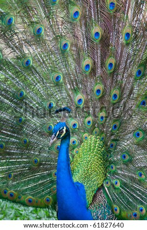 Beautiful spread of a peacock tail - stock photo